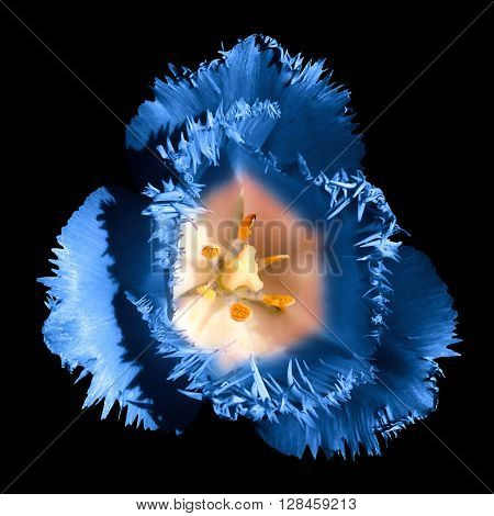 Surreal Dark Chrome Contrast Exotic Blue Tulip Flower Macro Isolated On Black