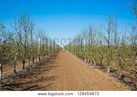 Orchard Of Young Apple Trees In Early Spring