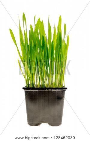 Fresh green wheatgrass growing in black pot