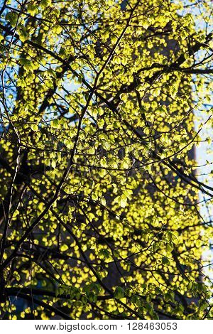 tree with springlike young leaves in backlit
