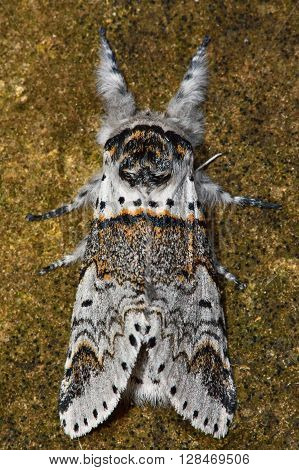 Sallow kitten moth (Furcula furcula) front legs outstretched. British nocturnal insect in the family Notodontidae showing distinctive resting posture