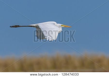 Eastern Great White Egret in Flight sandy Hook