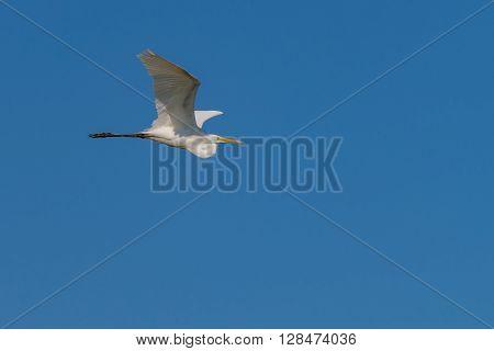 Eastern Great White Egret in Flight-Sandy Hook