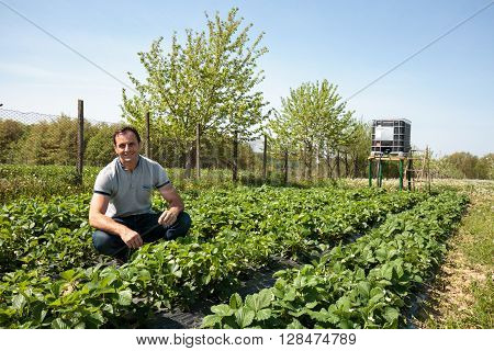 Farmer In Strawberry Field