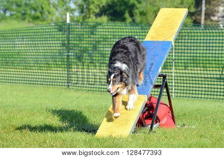 LAKE ELMO, MN - JUNE 8 2016: Tricolor Australian Shepherd (Aussie) on a Teeter-Totter at Dog Agility Trial