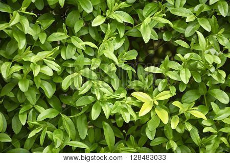 Fragment of a hedge of privet early spring. Privet bush in natural lighting in close-up.