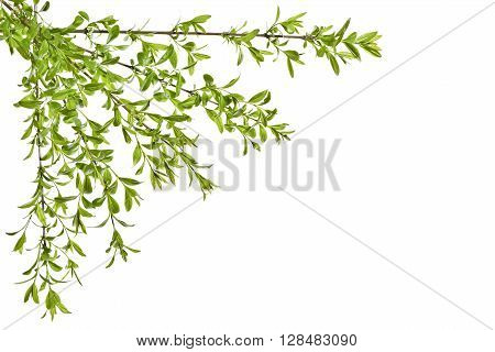 Young spring privet twigs with leaves on a white background. Several twigs of young green leaves. Spring.