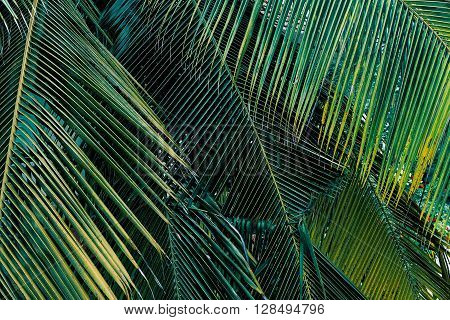 bright green palm background fresh tropical plant