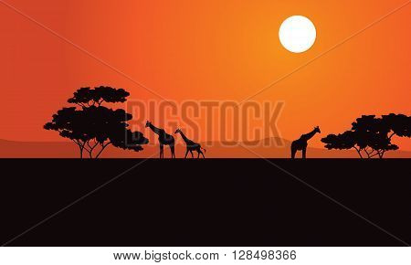 Zebra at afternoon scenery with sun a beautiful