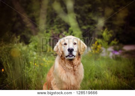 Golden Retriever with cute face