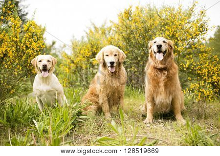 Three Golden Dogs in the flowers and field