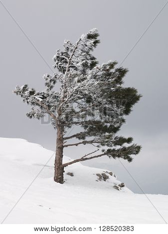 Young frozen pine tree on the edge of the snow-covered rock