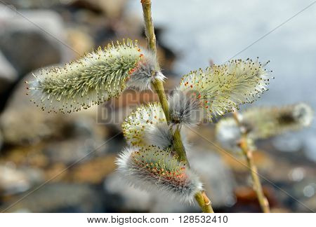 A close up of the blooming osier. Early spring.