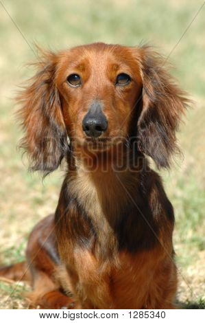 Dachshund Dog Head Portrait