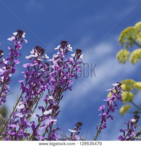 Flora of Gran Canaria - abundant flowering of Erysimum albescens Gran Canaria wallflower