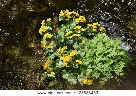 Yellow Wildflowers Living On Soggy, Wet Soil