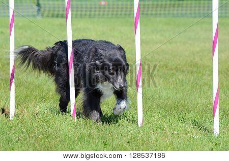 Border Collie Weaving Through Poles at a Dog Agility Trial