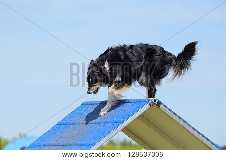Mixed-Breed Dog Climbing an A-frame at Dog Agility Trial