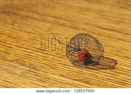 Physalis alkekengi or the Chinese lantern dries during spring