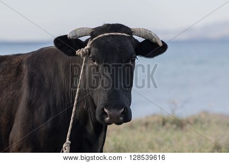 Cow's portraiture at a farm near the sea.