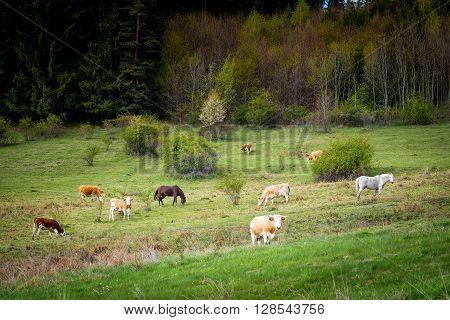 Cows And Horses In Pasture