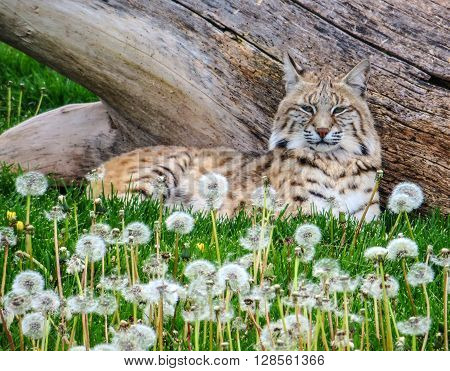 A bobcat sitting under a tree in a field of flowers