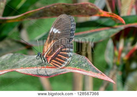 Fragile Red Cattle Heart Butterfly Amazonian Rainforest South America