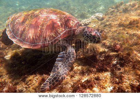 big sea turtle caretta caretta on the island of  Apo, Philippines