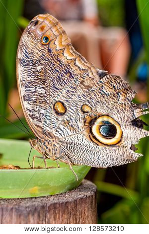 Close Up Of A Beautiful Tropical Owl Butterfly South America