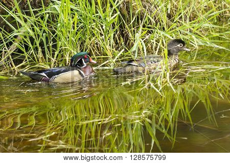 Cute wood duck couple in a wetland area of Fernan Lake Idaho.
