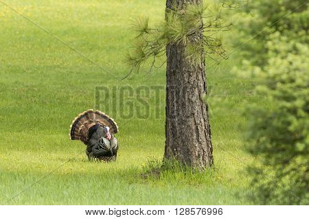 Tom Turkey by the tree near Fernan Idaho.