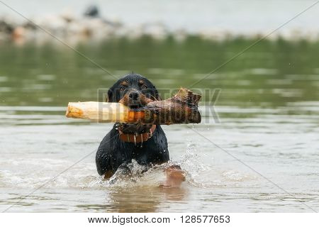 Adult Rottweiler Playing In The River With An Stump