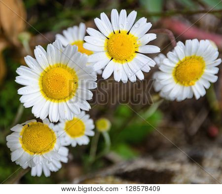 wild camomile flowers covered with waterdrops. Daisy flower