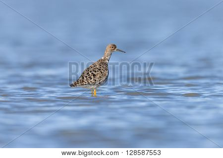 Ruff On A Pond
