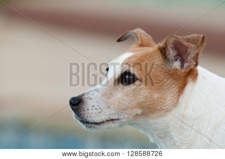 Cute jack russell terrier dog close up.