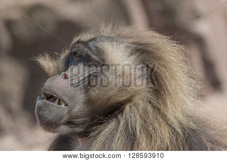 Portrait Of African Baboon In The Open Resort, Magdeburg, Germany