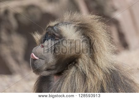 Portrait Of African Baboon Showing Its Tongue, Magdeburg, Germany