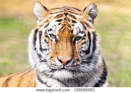 Siberian tiger portrait, the largest cat in existence