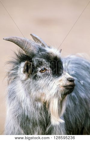 Baby Goat also refereed to as Goat kid