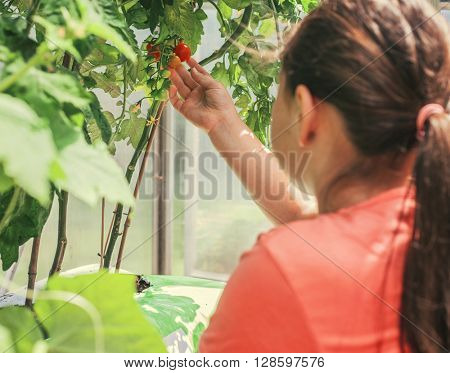 Child touching cherry tomato in greenhouse