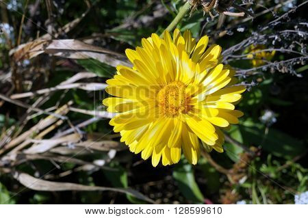 A field marigold flower (Calendula arvensis) blooms during November in the Wildflower Park of Naperville, Illinois.