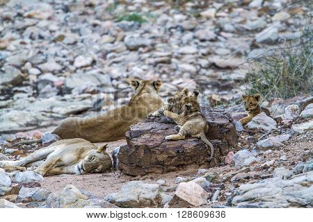 SpeciePanthera leo family of felidae, lioness and cubs in Kruger Park, South Africa