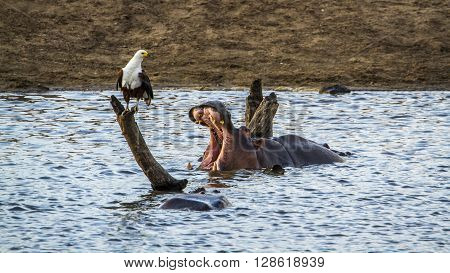 Specie Hippopotamus amphibius and Haliaeetus vocifer, wild hippos in the river in Kruger Park