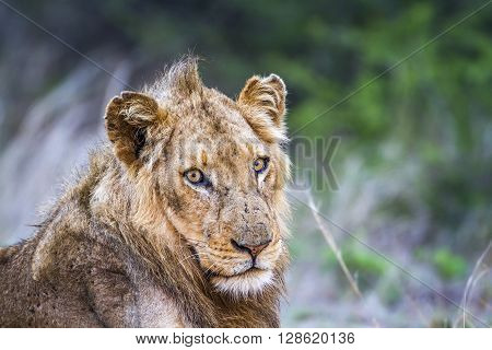 Specie Panthera leo family of felidae, young male lion in savannah, Kruger park