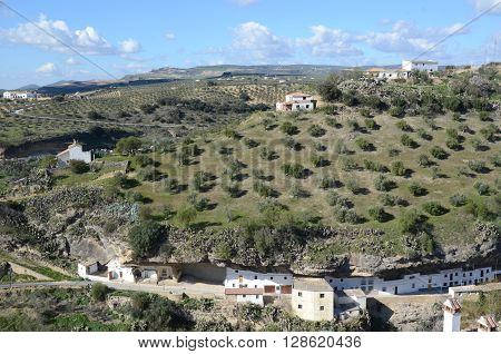 Olive tree crop in Setenil de las Bodegas