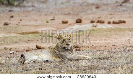 Specie Panthera leo family of felidae, lion having a nap in the bush, Kruger