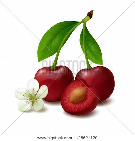 Two whole cherry berries with stem and leaves, half of cherry with seed, flower of cherry isolated on white background. Vector illustration.
