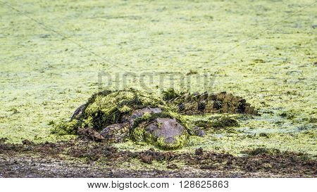 Specie Crocodylus niloticus family of Crocodylidae, Nile crocodile in a pond in Kruger park