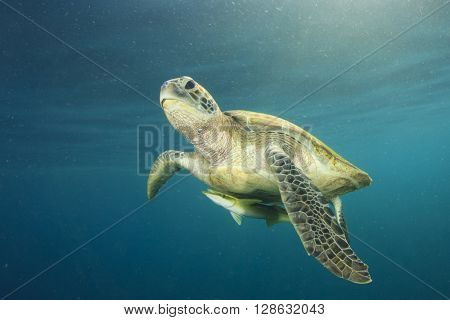 Green Sea Turtle and Remora fish