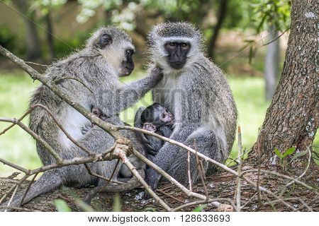 Specie Chlorocebus pygerythrus family of Cercopithecidae, family of vervet monkey in Kruger park, South Africa